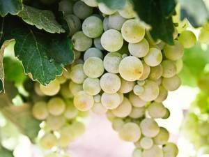 Лекторий «Виноградарство в Удмуртии»