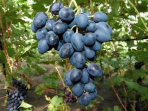 Первое занятие вШколе виноградарства сезона 2019–2020гг.